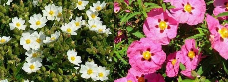 Conférence : les plantes endémiques de Roccapina